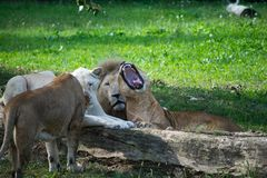 Groupe de lions sauvages Image libre de droits