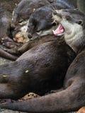 Groupe de loutres de sommeil avec sur le baîllement Photo libre de droits
