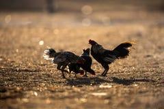 Groupe de lumière du soleil de silhouettein de poulets images libres de droits
