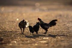 Groupe de lumière du soleil de silhouettein de poulets photos libres de droits