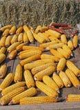 Groupe de maïs jaune après la moisson du fermier image libre de droits