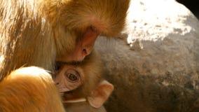 Groupe de macaques de rhésus sur des roches Famille de beaux macaques velus recueillant sur des roches dans la nature et le somme banque de vidéos
