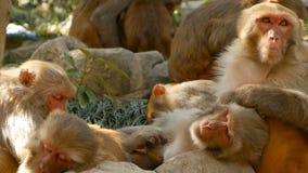 Groupe de macaques de rhésus sur des roches Famille de beaux macaques velus recueillant sur des roches dans la nature et le somme clips vidéos