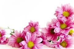 Groupe de marguerite rose Photographie stock libre de droits