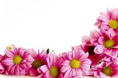 Groupe de marguerite rose images libres de droits