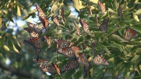 Groupe de migration de papillon de monarque banque de vidéos