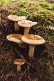 Groupe de milkcaps laineux photos stock