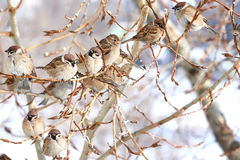 Groupe de moineaux se reposant sur une branche d'un peuplier Photo stock