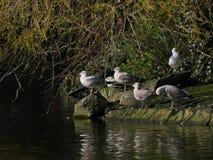 Groupe de mouettes d'harengs/d'argentatus de Larus sur une roche par un lac photo stock