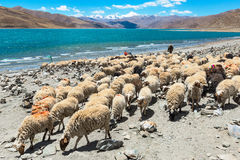 Groupe de moutons au lac de namtso Photos stock