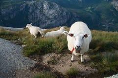 Groupe de moutons blancs Photos libres de droits