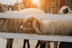 Groupe de moutons dans la ferme images libres de droits