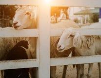 Groupe de moutons dans la ferme photos libres de droits