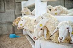 Groupe de moutons dans la ferme : Plan rapproché photos stock