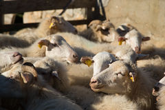 Groupe de moutons dans un parc à moutons Photographie stock libre de droits