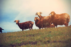 groupe de moutons marchant sur la montagne Photo stock