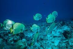 Groupe de natation d'or d'espadons dans Derawan, photo sous-marine de Kalimantan, Indonésie Photo stock