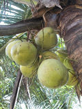 Groupe de noix de coco Photos stock