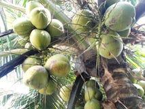 Groupe de noix de coco Image libre de droits
