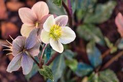Groupe de pâle - hellebores roses en fleur photo libre de droits