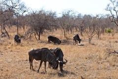 Groupe de pâturage de wildebeest Photographie stock