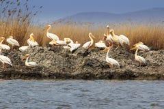 Groupe de pélicans blancs dans le delta de Danube Photographie stock libre de droits