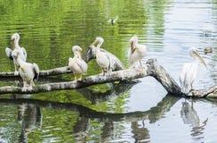 Groupe de pélicans blancs sur l'herbe Photo libre de droits