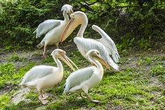 Groupe de pélicans blancs sur l'herbe Images stock