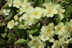Groupe de Pale Yellow Flowers images stock