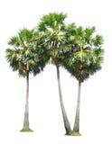 Groupe de palmier de sucre Images libres de droits