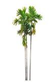 Groupe de palmiers de bétel d'isolement sur le blanc Image libre de droits