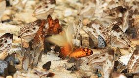 Groupe de papillon clips vidéos