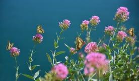 Groupe de papillons de machaon sur l'usine de centre serveur pourpre Photo stock