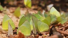 Groupe de papillons mangeant le soi salé banque de vidéos