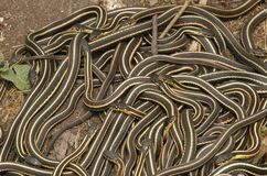 Groupe de parietalis dégrossis rouges de sirtalis de Thamnophis de serpent de jarretière photographie stock