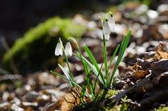 Groupe de perce-neige fleurissants sauvages Photographie stock