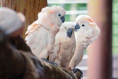 Groupe de perroquets blancs photo stock