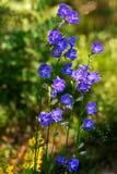Groupe de persicifolia de jacinthe des bois ou de campanule Images libres de droits