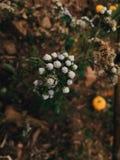 Groupe de petite fleur sur la montagne Images libres de droits