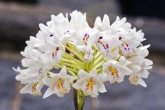 Groupe de petite orchidée blanche sur le fond gris Image stock