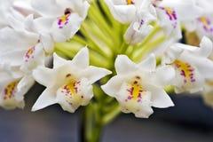 Groupe de petite orchidée blanche sur le fond gris Photographie stock libre de droits