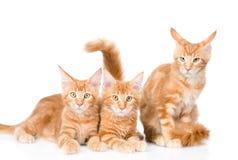 Groupe de petits chats de ragondin du Maine de gingembre se situant dans la vue de face D'isolement sur le blanc Photos stock