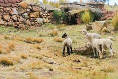 Groupe de petits moutons Images libres de droits