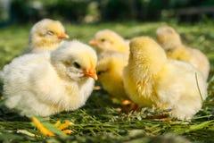 Groupe de petits poulets dans l'herbe photos libres de droits