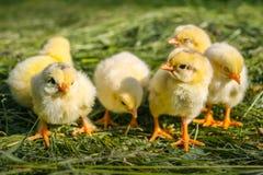 Groupe de petits poulets dans l'herbe photographie stock