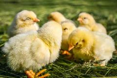 Groupe de petits poulets dans l'herbe photos stock
