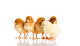 Groupe de petits poussins. Images libres de droits
