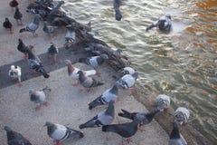 Groupe de pigeon en parc, Thaïlande photo libre de droits