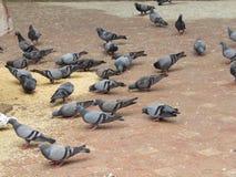Groupe de pigeons Images stock