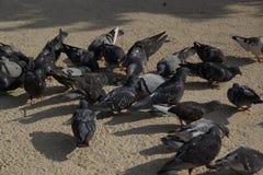 Groupe de pigeons sauvages Photographie stock libre de droits
